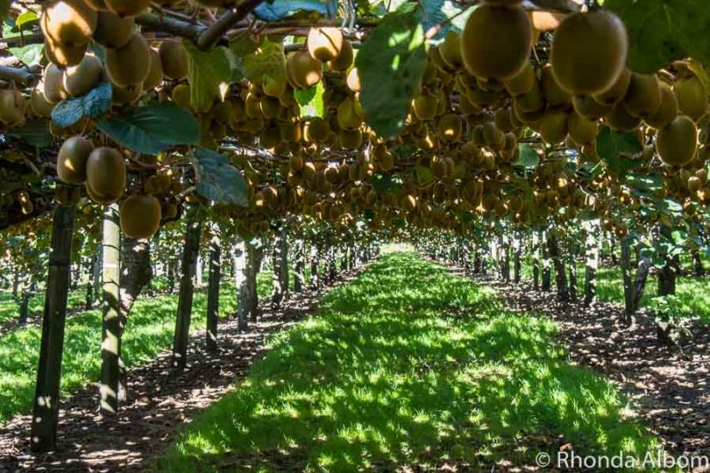 Mature green kiwifruit vines in the Bay of Plenty in New Zealand