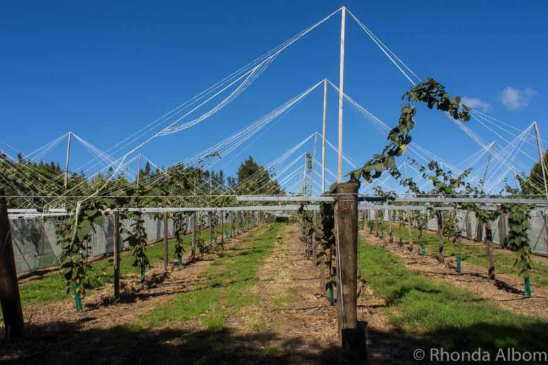 Two year old immature gold kiwi fruit vines at Kiwifruit Country in Paengaroa in the Bay of Plenty in New Zealand