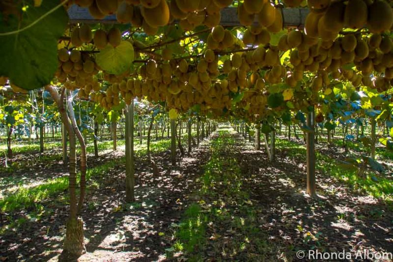Golden kiwi fruit ready to be picked in Paengaroa New Zealand