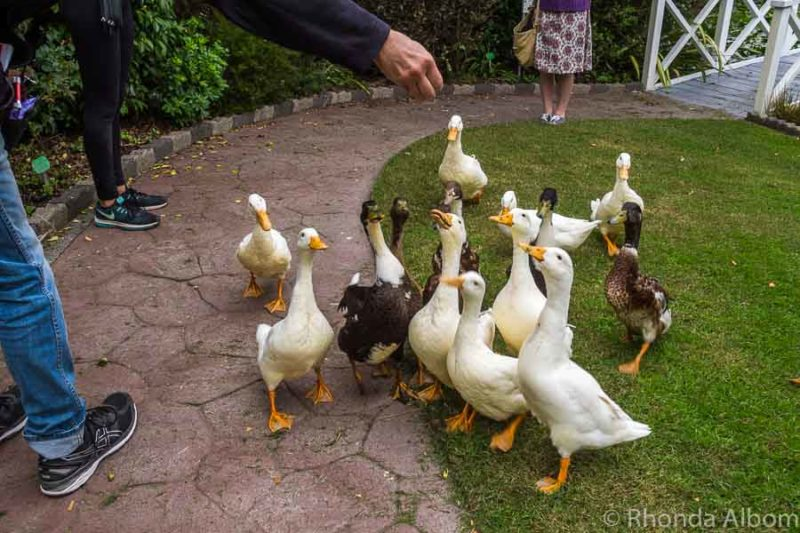 Feeding ducks and geese at the water gardens in Ngatea NZ
