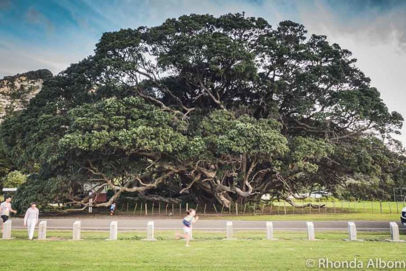 The World's largest Pohutukawa Tree in Te Araroa New Zealand