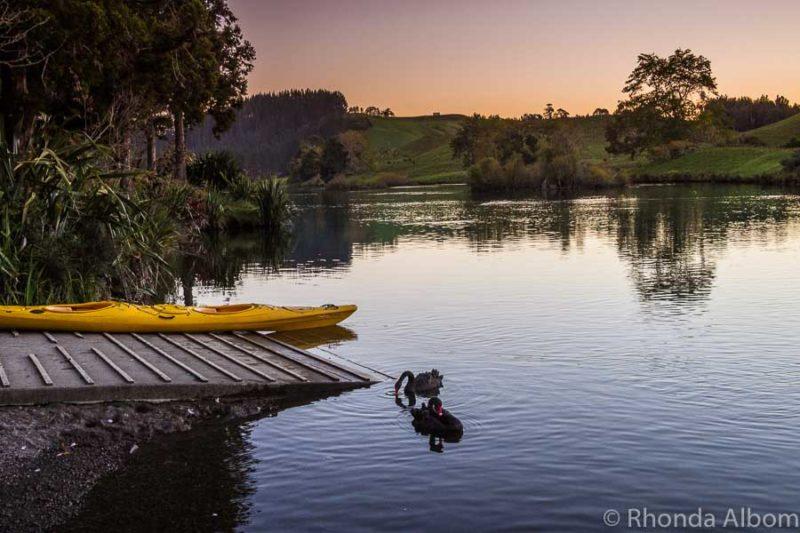 Black swan on McLaren Lake in the Bay of Plenty New Zealand