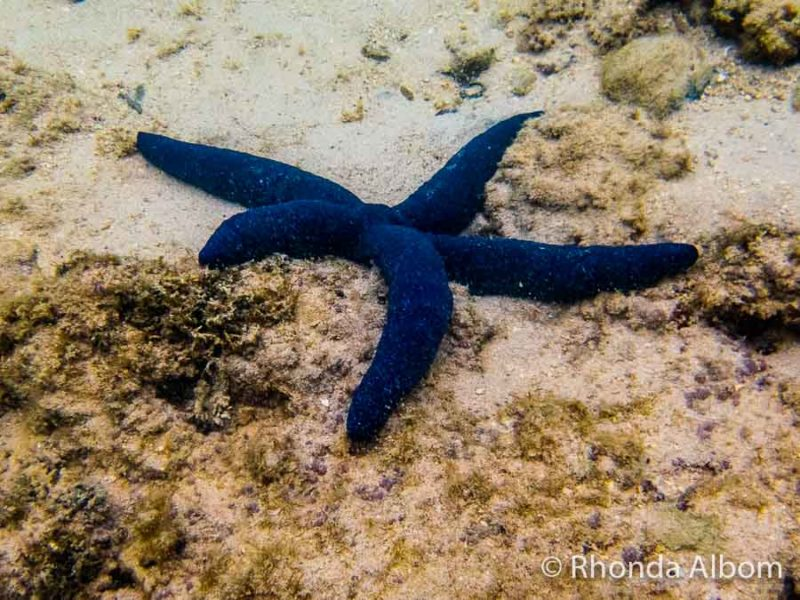 Blue sea star captured on an underwater compact camera while snorkelling Rarotonga