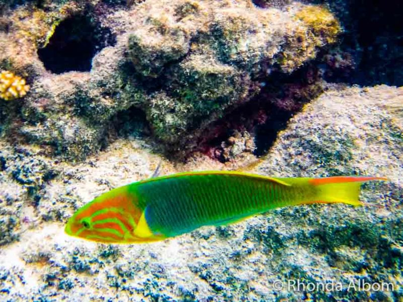Colourful green and yellow fish shot on an underwater compact camera