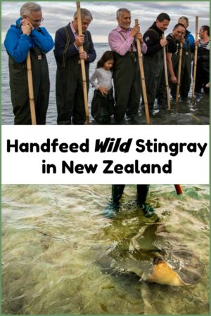 Hand feeding wild stingray with Dive Tatapouri in New Zealand is one of the coolest things we have ever done.