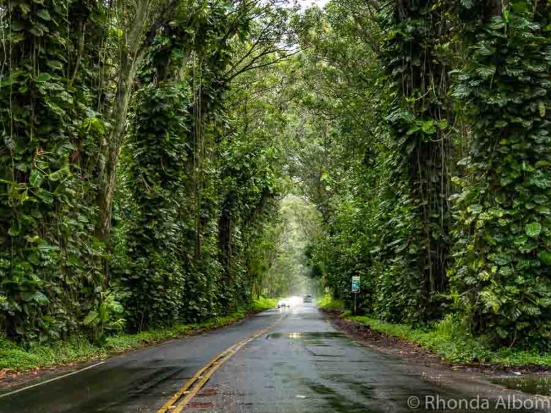 Tunnel of trees in Koloa on Kauai, Hawaii