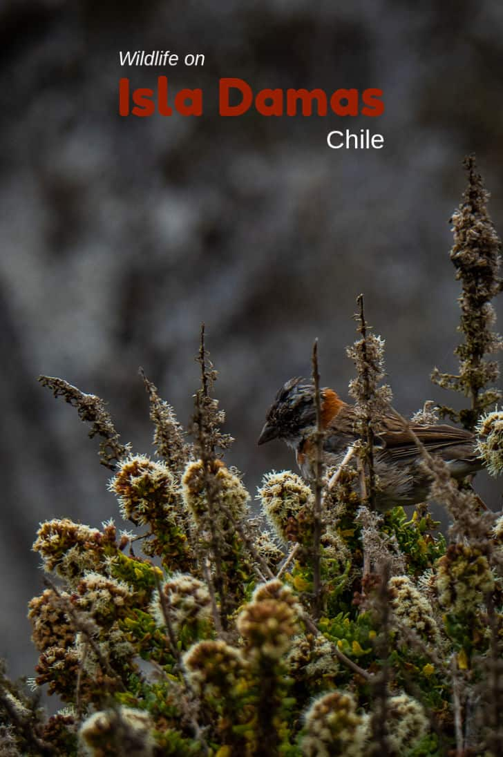 Isla Damas is loaded with birdlife and interesting fauna. It is part of Chile's Humboldt Penguin National Reserve. #Chile #VisitChile #IslaDamas #penguins #sealions #nature #laserena