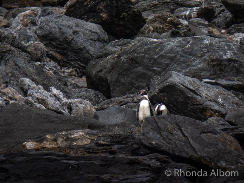 Humboldt Penguins on Isla Choros