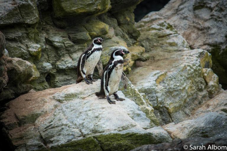 Humboldt Penguins on Isla Choros, Chile