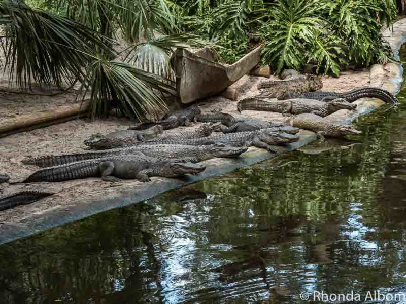 St Augustine alligator farm and zoological park in Florida