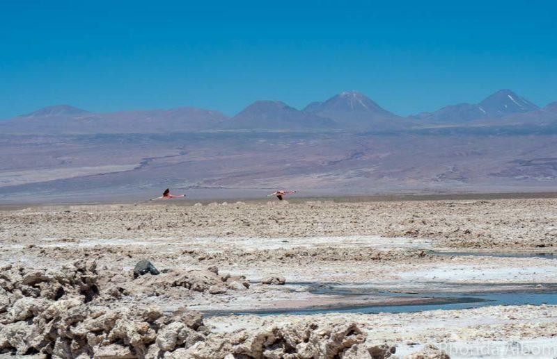 Flamingos flying over the salt flats at Laguna Chaxa, in Atacama Desert, Chile