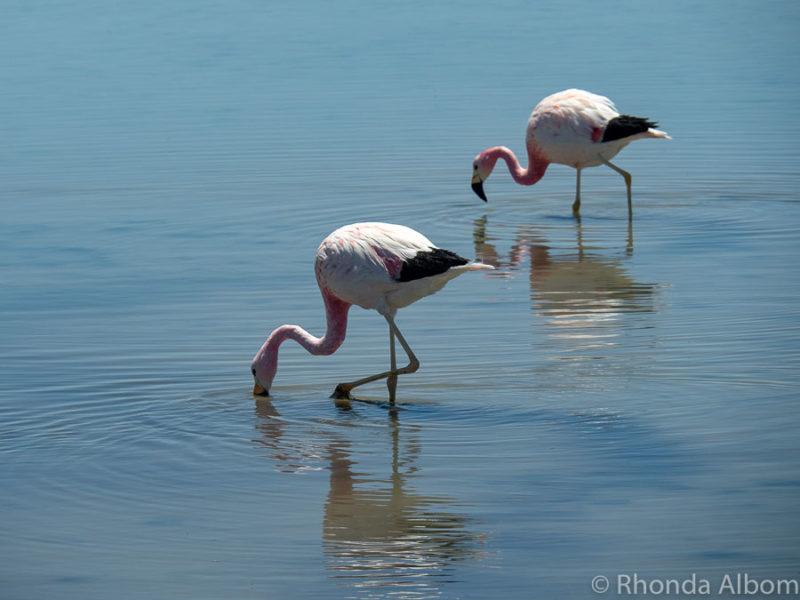 Flamingos at Laguna Chaxa, in Atacama Desert