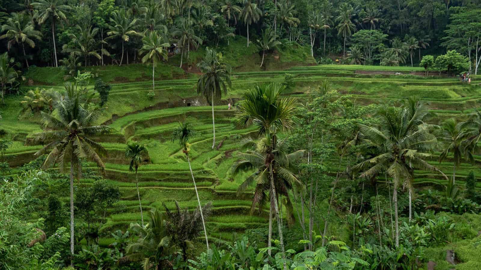 Tegalalang Rice Terrace in Bali