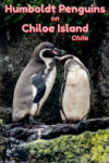 Magellanic and Humboldt penguins can be seen off Puñihuil on the west coast of Chiloe Island, Chile. It's an interesting island also famous for stilted houses and wooden churches.
