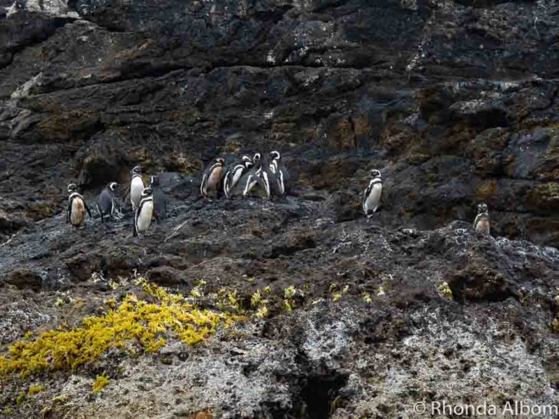 Magellanic and Humboldt penguins on Chiloe Island Chile