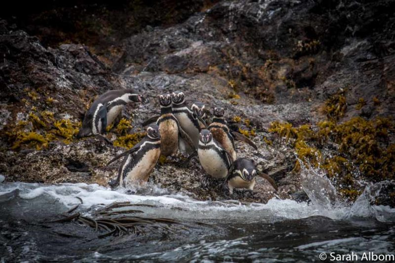 Magellanic and Humboldt penguins in Chile. photo by Sarah Albom