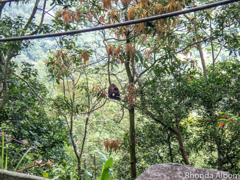 Monkeys on in the Tijucu rainforest in Brazil