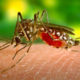 My Dengue Fever experience was caused by this Aedes aegypti mosquito