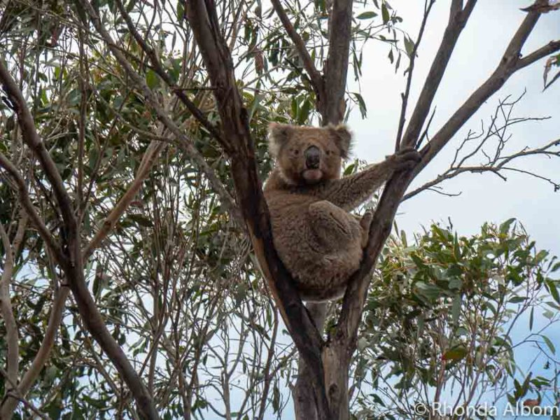 Koalas seen in trees on Kangaroo Island, Australia.