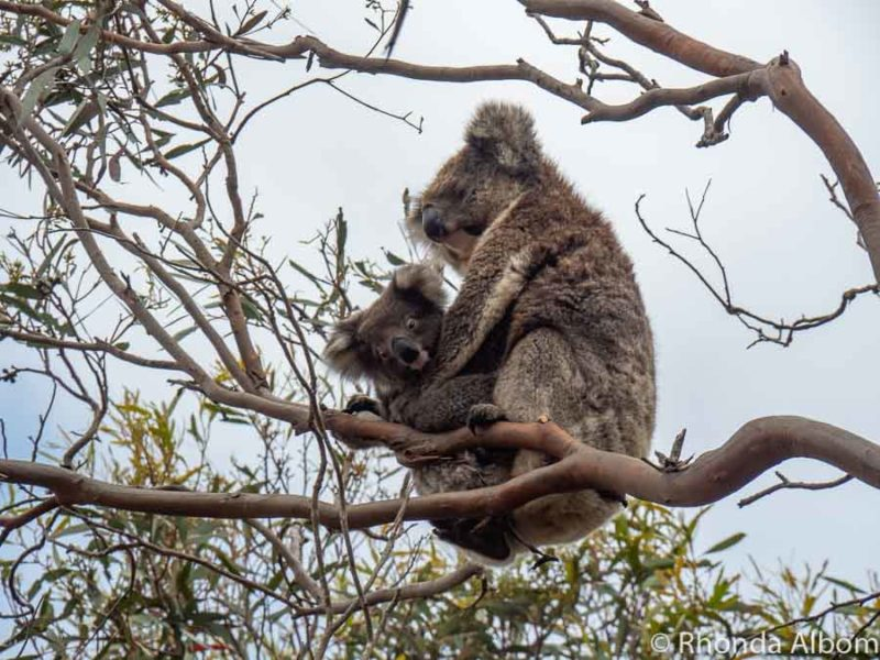 Koala holding a baby seen in trees on Kangaroo Island, Australia.