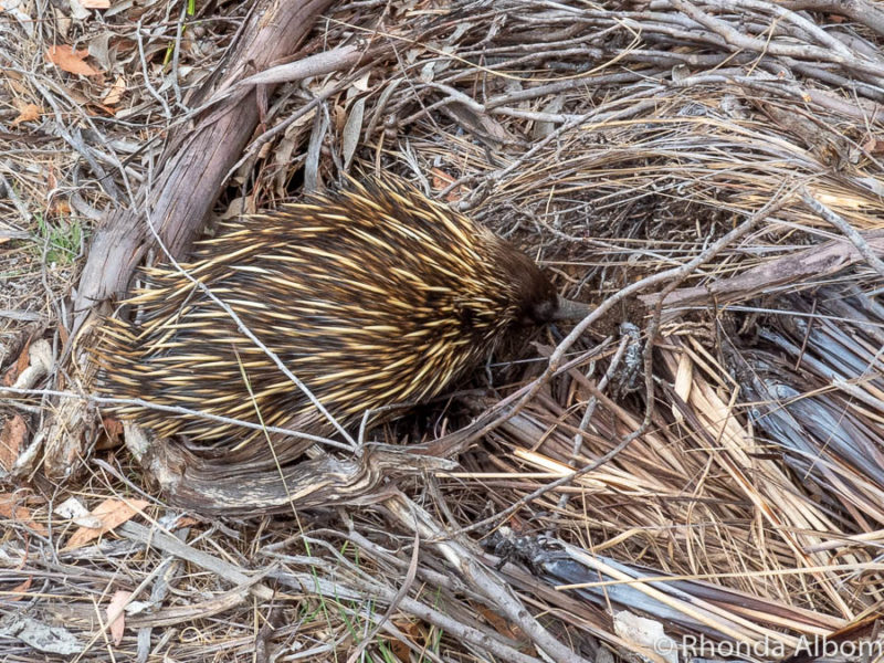 Echidna seeking camouflage after crossing the road on Kangaroo Island, Australia.