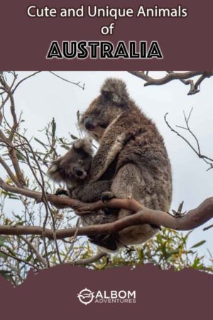 Koalas are amongst the cute and unique animals of Australia