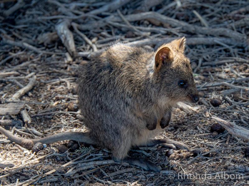 Quokkas on Rottnest Island, Western Australia