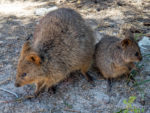 Australian animal Quokka and joey on Rottnest Island in Western Australia