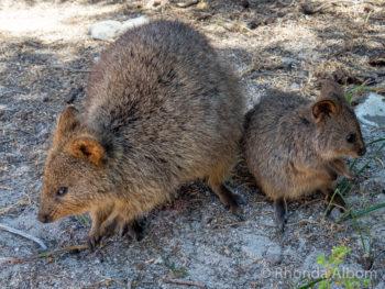 Australian animal Quokka and joey on Rottnest Island in Western Australia
