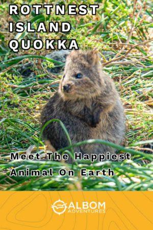 Adorable quokka on Rottnest Island in Western Australia