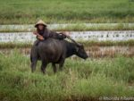 Man on water buffalo in rice field seen while driving from Da Nang to Hoi An Vietnam