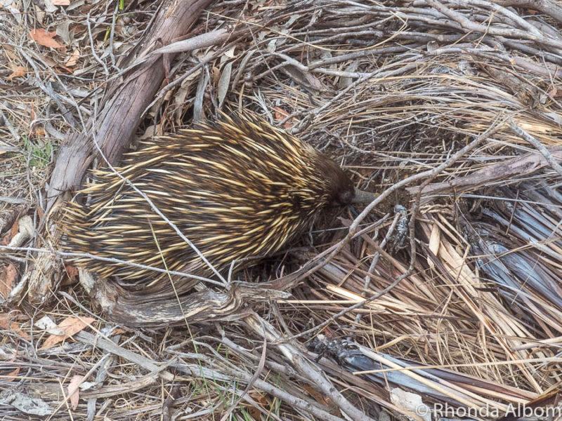 Echidna seen on road on Kangaroo Island Australia