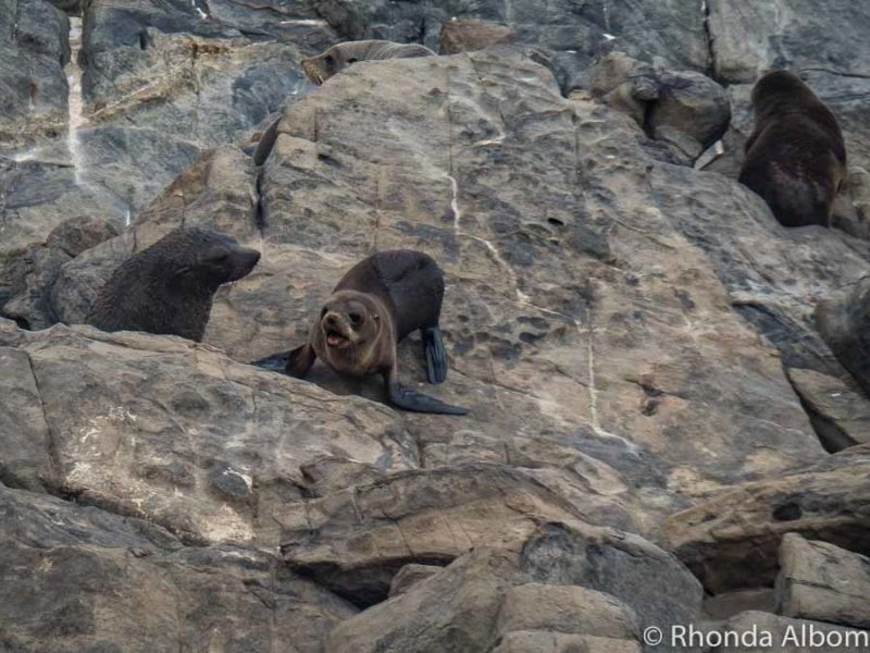 New Zealand fur seal pup and mom near Admirals Arch in Australia