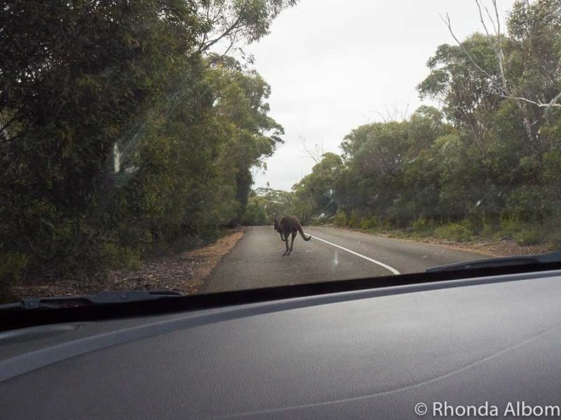 Kangaroo hopping down the street on Kangaroo Island in Australia