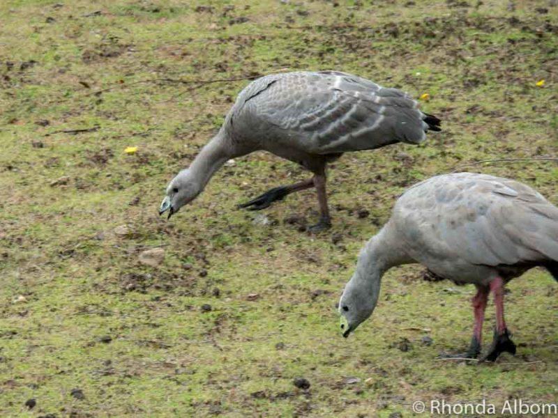 Two Cape Baron Geese searching for food on Kangaroo Island in Australia