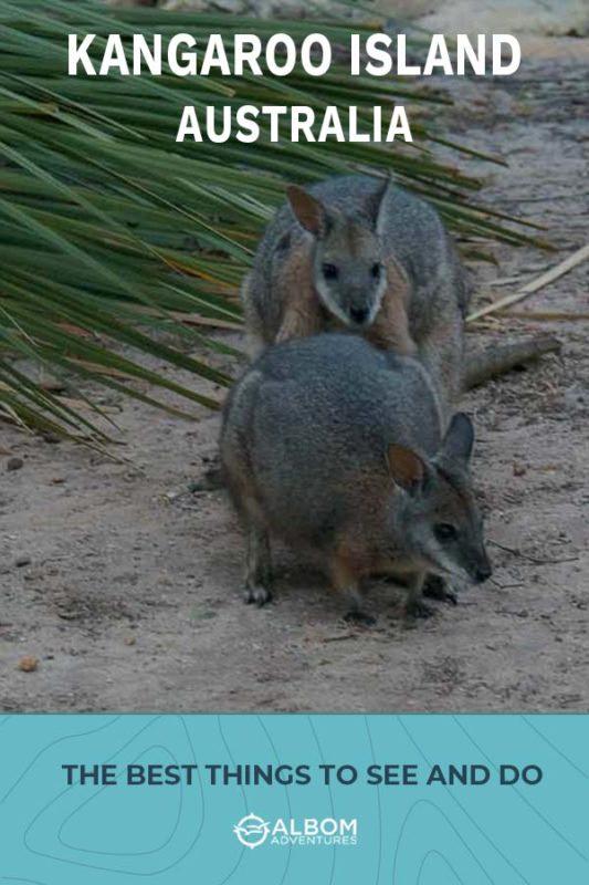 A pair of Tammar wallabies on Kangaroo Island Australia.