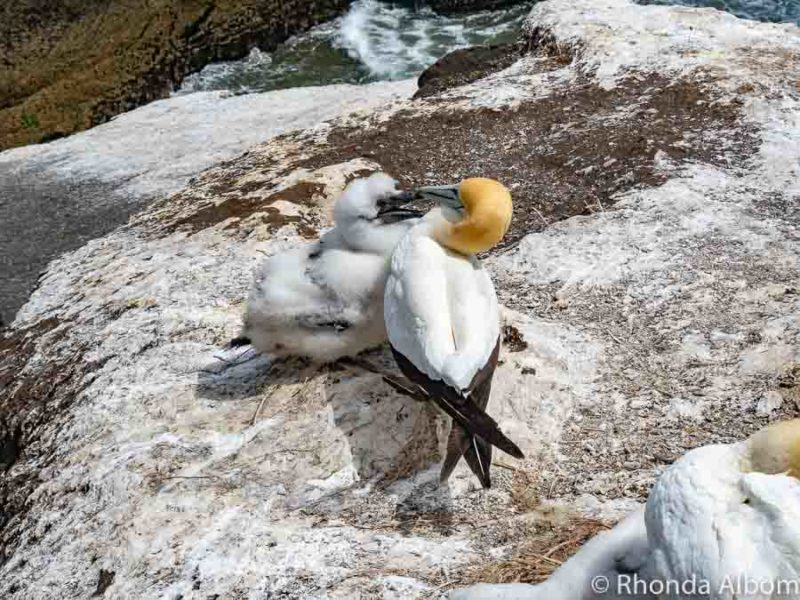 Adult feeding a fledgling at the Muriwai gannet colony in New Zealand
