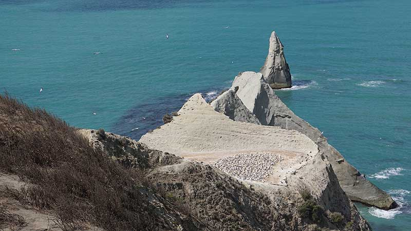 Gannets Hawkes Bay colony at Cape Kidnappers at