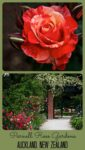 Close up photo of a rose and the Nancy Steen heritage rose garden at the Parnell Rose Gardens in Auckland New Zealand