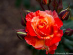 Classic red rose in the rose gardens, Parnell Auckland