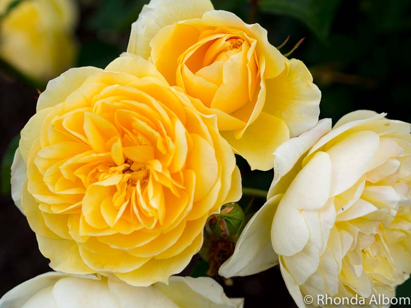 Yellow roses at the Dove-Myer Robinson Park