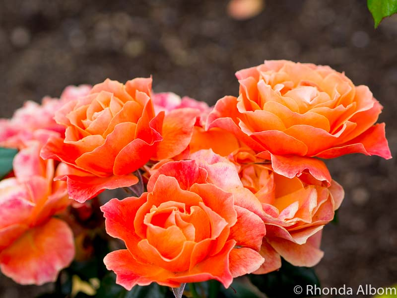 Bright orange roses ready for the Parnell Rose Festival in Auckland New Zealand.