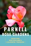A single rose bloom in Auckland's Parnell Rose Garden