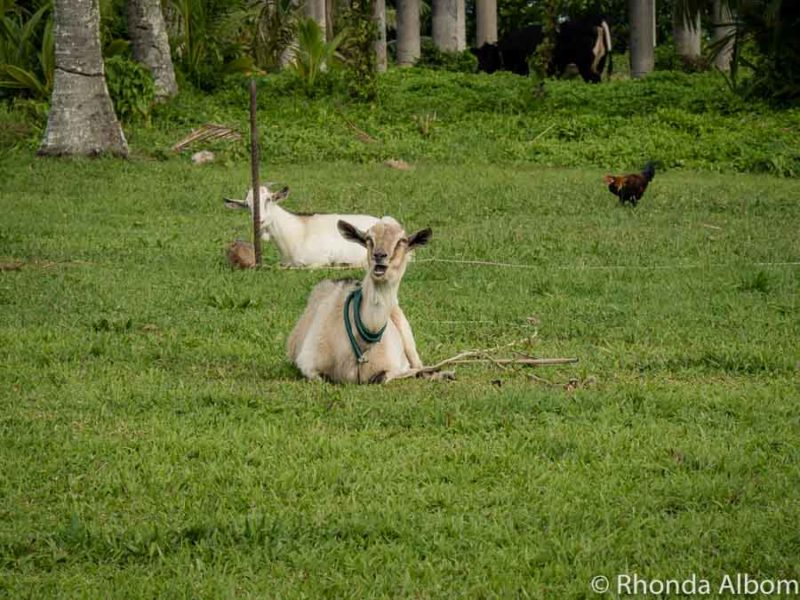 Goats on the overgrown lawn of a abandoned hotel in the Cook Island
