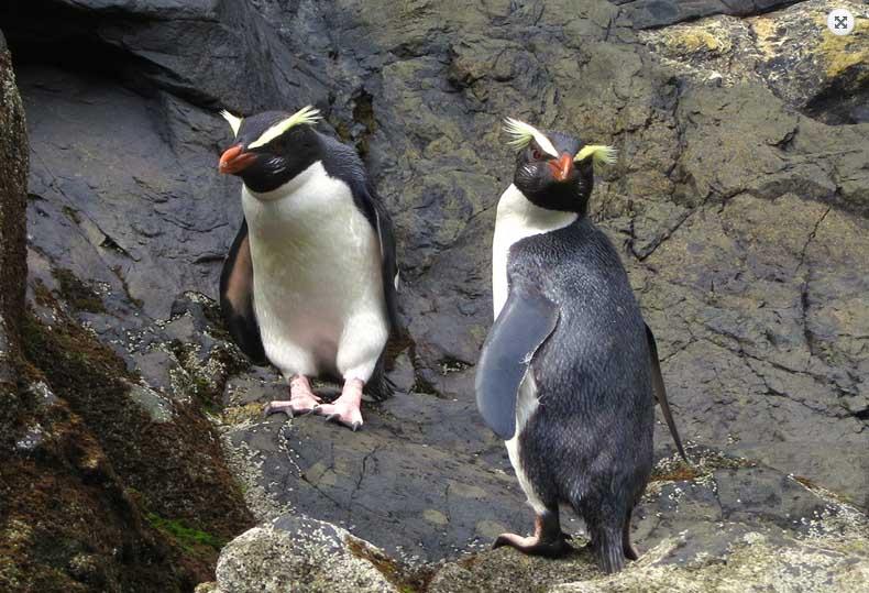 Tawaki - Fiordland Crested Penguin