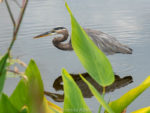 This Great Blue Heron is one of many wading Wakodahatchee Wetlands birds