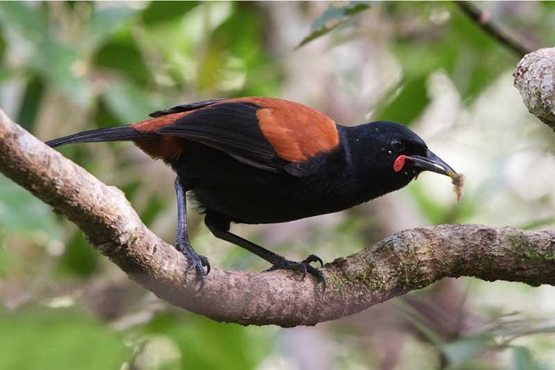 Saddleback seen at Zealandia Sanctuary in Wellington New Zealand ©Brendon Doran.