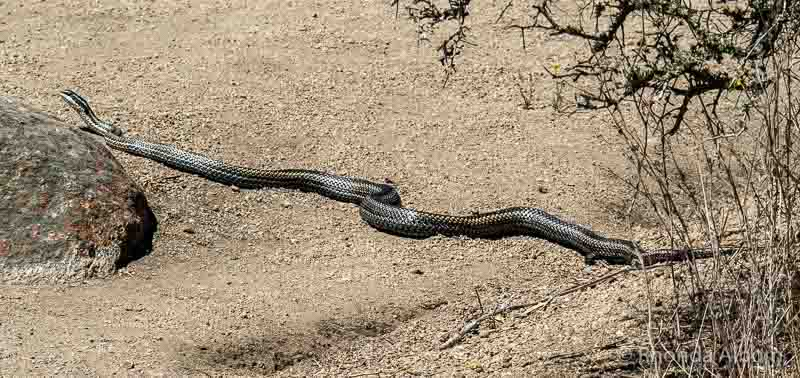 Chilean cobra seen near Ovalle Chile