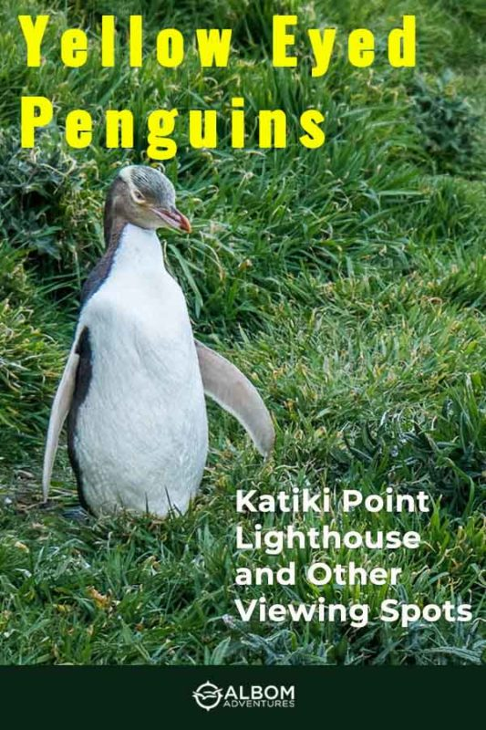 A yellow eyed penguin seen on a nature walk near the Katiki Point lighthouse in New Zealand