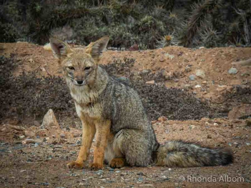 Fox on the side of the road in Chile